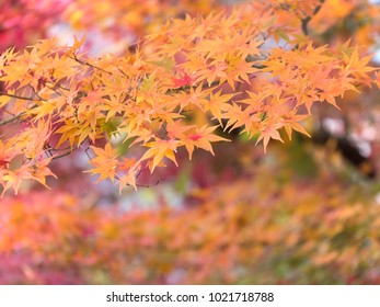 Closeup of beautiful autumn leaves, red maple leaf in Japan (Selective Focus)