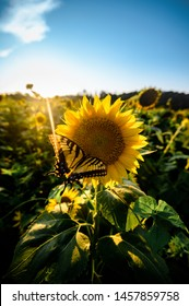 Closeup of Beautiful Big Yellow Sunflower with Pretty Yellow Butterfly on Head of Flower with Sun Rays Shining through Trees at Evening Sunset in Summertime in Field of Lush Sunflowers