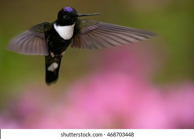 Close-up, beautiful black and white hummingbird,with blue head, Coeligena torquata, Collared Inca, hovering in front of pink flowers. Chicaque Natural Park, Colombia.