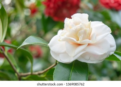 Closeup of a beautiful blooming white Camellia Angela Cocchi (Camellia japonica) with delicate Petals and green Leaves on a sunny morning in April. View of a blooming white Camellia Flower.