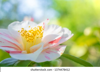 Close-up of a beautiful blossoming white Camellia Japonica with red Stripes in the early Morning Light.