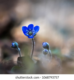 Closeup of beautiful Blue Anemone flower and buds by a blurred background