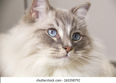 Closeup of the beautiful blue eye of a ragdoll cat. Shallow depth of field.