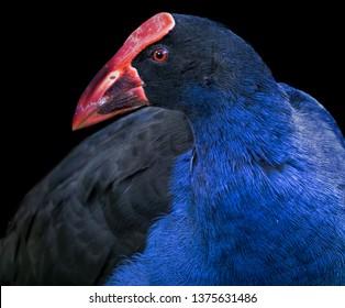 A closeup of a beautiful blue pukeko bird - a swamp bird of New Zealand.