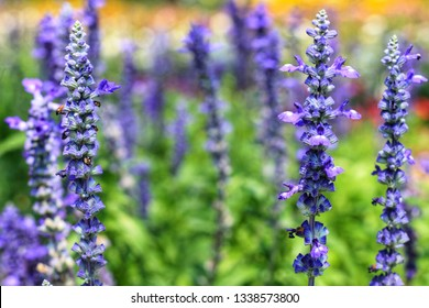 Closeup Beautiful blue Salvia (salvia farinacea) flower blooming in outdoor garden with blurred background.Purple Salvia is herbal plant in the mint family.Botanical,natural,Herb and flower concept.