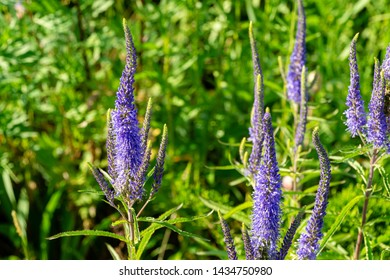 Close-up of beautiful blue speedwell flowers Veronica spicata Ulster Blue Dwarf. Selective focus