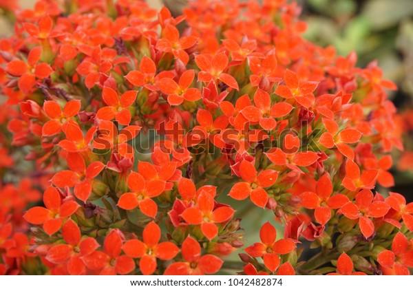 Closeup beautiful bouquet of orange Kalanchoe