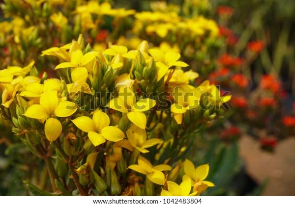 Closeup beautiful bouquet of yellow Kalanchoe