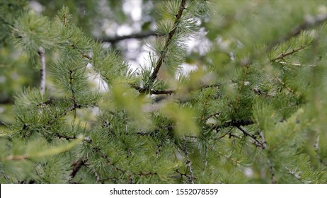 Close-up of beautiful branches of green fir in cloudy weather. Stock footage. Branches of green fir tree sway in breeze with drops after rain on cloudy summer day
