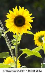 Close-up of beautiful bright sunflower in sunlight