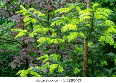 Close-up of beautiful bright young needles on dark green branches of coniferous tree fir Abies nordmanniana, Caucasian Fir or Christmas tree in natural day light. Nature concept for design