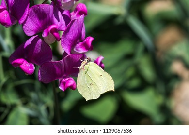 Closeup of a beautiful Brimstone butterfly on a Sweet Pea flower