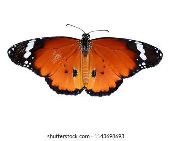 Closeup  beautiful butterfly .Danaus chrysippus & flower in the garden.