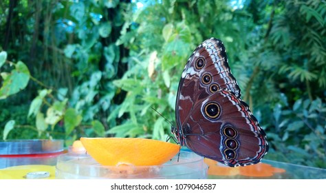 Closeup beautiful butterfly feeding on orange fruit.