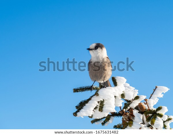 closeup-beautiful-canada-jay-perched-600