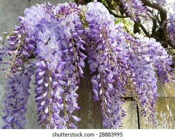 Close-up of a beautiful cascading purple wisteria growing along a wall