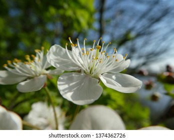 Closeup from beautiful cherry flower blossom with blue sky in the background