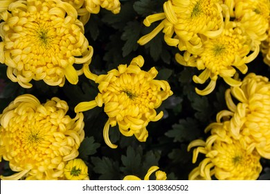 close-up beautiful chrysanthemum