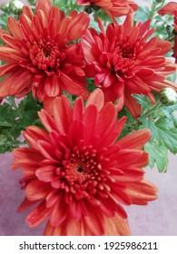 Closeup for beautiful chrysanthemum flower in garden.