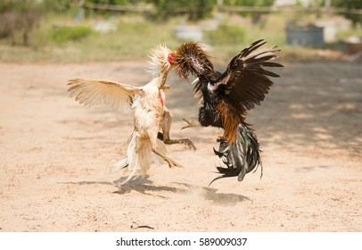 Close-up beautiful cockfighting