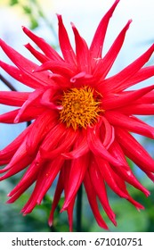 Closeup of beautiful colorful dahlia flowers surrounded by green leaves