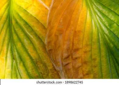 Closeup of beautiful, colorful hosta leaves transitioning in autumn