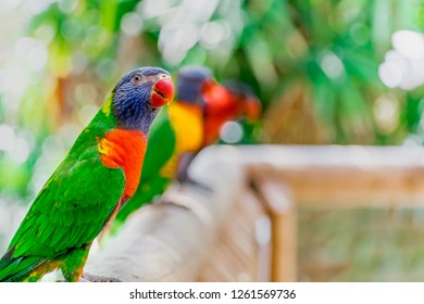 Closeup of beautiful and colorful Lorikeet Green-naped bird (Trichoglossus Haematodus) Also Known As A Rainbow Lorikeet, standing on wooden fence and looking around