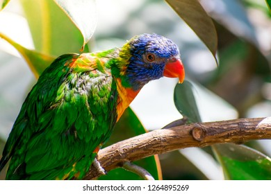 Closeup of beautiful and colorful Lorikeet Green-naped bird (Trichoglossus Haematodus) Also Known As A Rainbow Lorikeet, standing on tree branch and looking around