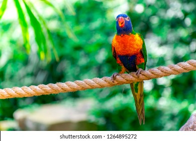 Closeup of beautiful and colorful Lorikeet Green-naped bird (Trichoglossus Haematodus) Also Known As A Rainbow Lorikeet, standing on bridge rope and looking front