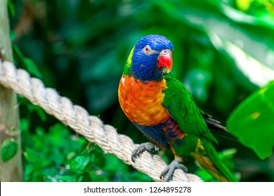 Closeup of beautiful and colorful Lorikeet Green-naped bird (Trichoglossus Haematodus) Also Known As A Rainbow Lorikeet, standing on bridge rope and looking around