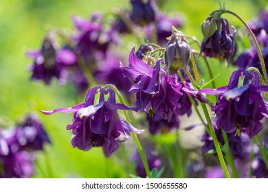 Close-up of beautiful Columbine Flower purple  Aquilegia growing in the sun in blurred garden greenery. Nature concept for spring design. Selective focus.