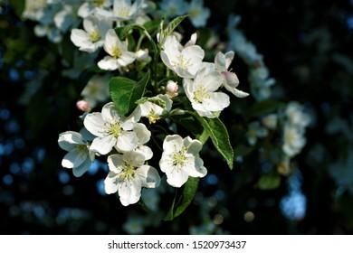 Close-up of beautiful Crabapple Malus x zumi Professor Sprenger blossom