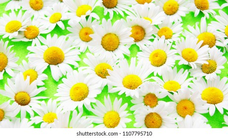 closeup of beautiful daisies on an green background