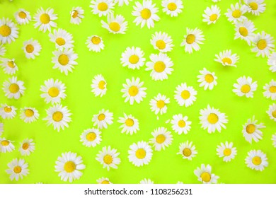 closeup of beautiful daisies on an neon green background