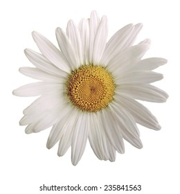closeup of a beautiful daisy flower isolated on white background