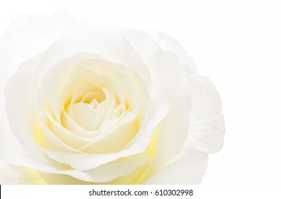 Closeup of a beautiful and elegant single white rose isolated on white background.