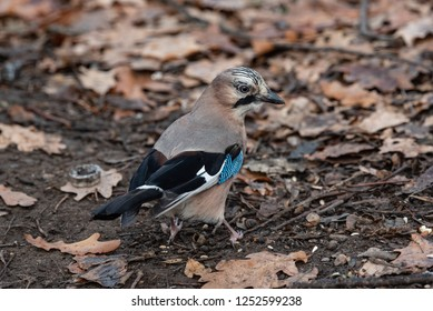 Closeup of a beautiful Eurasian Jay - Garrulus glandarius with bright colorful feathers sitting on ground