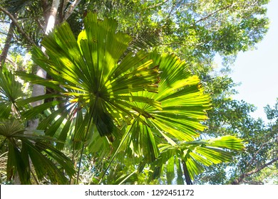 Closeup of beautiful Fan Palm leaves and tropical trees in The Daintree, Tropical North Queensland, Australia