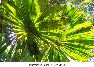 Closeup of beautiful Fan Palm leaves in The Daintree, Tropical North Queensland, Australia
