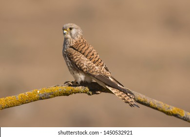 A close-up of a beautiful female Lesser Kestrel perched on a branch (Falco naumanni)