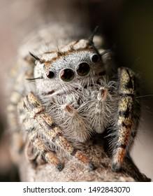 Closeup of a beautiful female Phidippus mystaceus jumping spider