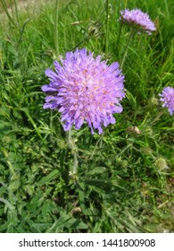 Close-Up of a beautiful Field Scabious, Knautia arvensis,on a green meadow  in the early summer