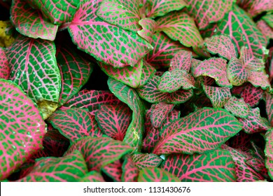 Closeup of beautiful Fittonia with pink veins on green leaves nature background use for your design or nature concept. Leaf is the main organs of photosynthesis and transpiration.