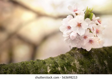 Closeup of beautiful flower blossoming on a branch of a Japanese cherry tree.