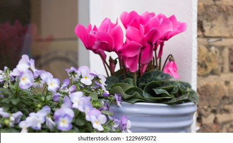 Close-up: Beautiful flower of pink cyclamen in blue pot is on a windowsill. Cyclamen & pansies are not afraid of cold season weather. Concept: gardening hobby & English garden.