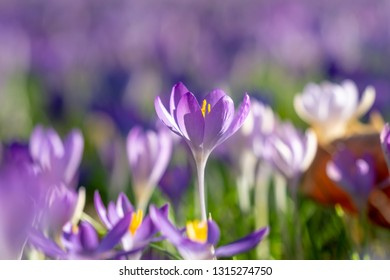 Close-up of beautiful Flowering Crocus Flowers in Spring. View of Blooming Crocuses on a Meadow in the Morning Light. Lilac Crocus.