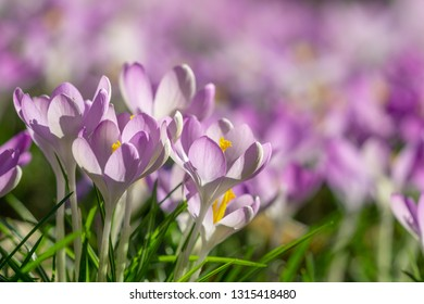 Close-up of beautiful Flowering Crocus Flowers in Spring. View of Blooming Crocuses on a Meadow in the Morning Light.