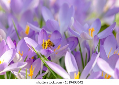 Close-up of beautiful flowering Crocus Flowers in Spring. View of blooming Crocuses on a Meadow. Spring Flowers on a sunny Day. Bees pollinate crocus flowers on a meadow