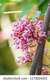 Closeup beautiful flowers of Carambola or star fruit or Averrhoa carambola on blurred background.
