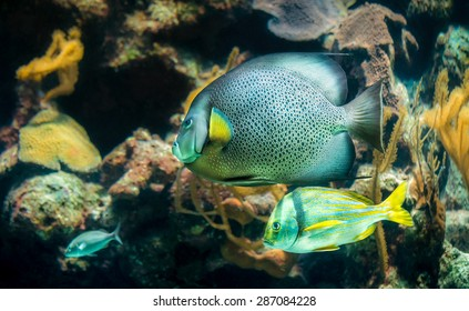 Closeup of beautiful French Angelfish in Caribbean sea